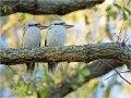 Jägerliest, Lachender Hans, Kookaburra (Dacelo novaeguineae) 01