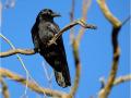 Neuhollandkrähe (Corvus coronoides) 01
