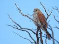 Graubartfalke (Falco cenchroides) 01