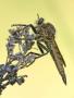 Schlichte Raubfliege (Machimus rusticus) 02