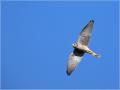 Turmfalke (Falco tinnunculus) 01