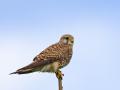 Turmfalke (Falco tinnunculus) 05