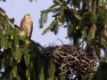 Turmfalke (Falco tinnunculus) 02