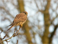 Turmfalke (Falco tinnunculus) 04