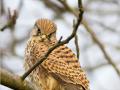 Turmfalke (Falco tinnunculus) 03