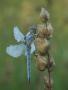 Südlicher Blaupfeil (Orthetrum brunneum) 03