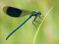 Gebänderte Prachtlibelle (Calopteryx splendens) 01