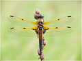 Vierfleck (Libellula quadrimaculata) 02
