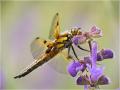 Vierfleck (Libellula quadrimaculata) 01