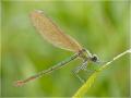Gebänderte Prachtlibelle (Calopteryx splendens) 02