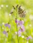 Aurorafalter (Anthocharis cardamines) 14