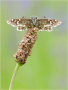 Kleiner Würfel-Dickkopffalter (Pyrgus malvae) 01