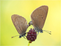 Dunkler Wiesenknopf-Ameisenbläuling (Phengaris nausithous) 01