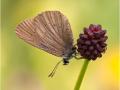 Dunkler Wiesenknopf-Ameisenbläuling (Phengaris nausithous) 02