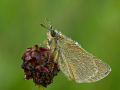 Schwarzkolbiger Braun-Dickkopffalter (Thymelicus lineola) 01