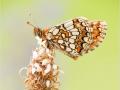 Ehrenpreis-Scheckenfalter (Melitaea aurelia) 01