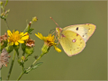 Gelbling (Colias hyale alfacariensis) 01