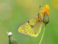Goldene Acht (Colias hyale) 03