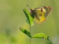 Goldene Acht (Colias hyale) 04