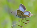 Hauhechel-Bläuling (Polyommatus icarus) 01