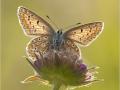 Hauhechel-Bläuling (Polyommatus icarus) 06