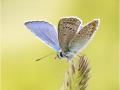 Hauhechel-Bläuling (Polyommatus icarus) 07