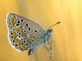 Hauhechel-Bläuling (Polyommatus icarus) 03