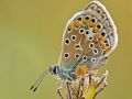 Hauhechel-Bläuling (Polyommatus icarus) 04