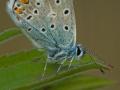 Hauhechel-Bläuling (Polyommatus icarus) 02