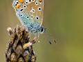 Hauhechel-Bläuling (Polyommatus icarus) 08