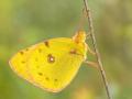 Hufeisenklee-Gelbling (Colias alfacariensis) 01