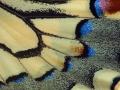 Schwalbenschwanz (Papilio machaon) 01
