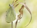 Großer Kohlweißling (Pieris brassicae) 01