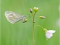 Leguminosen oder Reals Schmalflügel-Weißling (Leptidea sinapis oder reali) 01