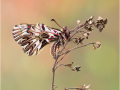 Osterluzeifalter (Zerynthia polyxena) 01