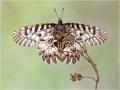 Osterluzeifalter (Zerynthia polyxena) 02