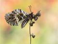 Osterluzeifalter (Zerynthia polyxena) 03