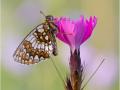 Ehrenpreis-Scheckenfalter (Melitaea aurelia) 03