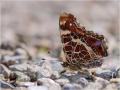 Landkärtchen (Araschnia levana) 01