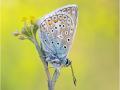 Hauhechel-Bläuling (Polyommatus icarus) 09