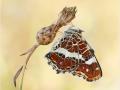 Landkärtchen (Araschnia levana) 02