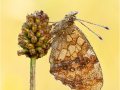 Mädesüß-Perlmutterfalter (Brenthis ino) 03