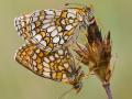 Ehrenpreis-Scheckenfalter (Melitaea aurelia) 07
