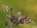 Westlicher Scheckenfalter (Melitaea parthenoides) 02