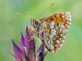 Ehrenpreis-Scheckenfalter (Melitaea aurelia) 04