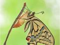 Schwalbenschwanz (Papilio machaon) 02