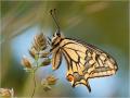 Schwalbenschwanz (Papilio machaon) 03