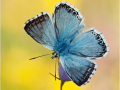 Silbergrüner Bläuling (Polyommatus coridon) 01