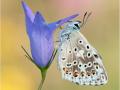 Silbergrüner Bläuling (Polyommatus coridon) 10