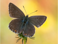 Silbergrüner Bläuling (Polyommatus coridon) 11